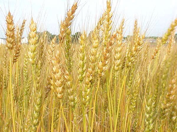 Scientists Crack the Genetic Code of Wheat | Impact Lab