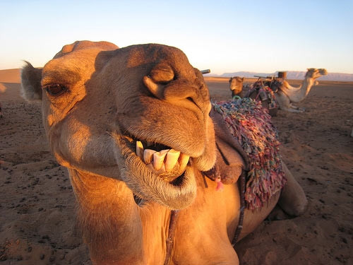 Happy Camel 672