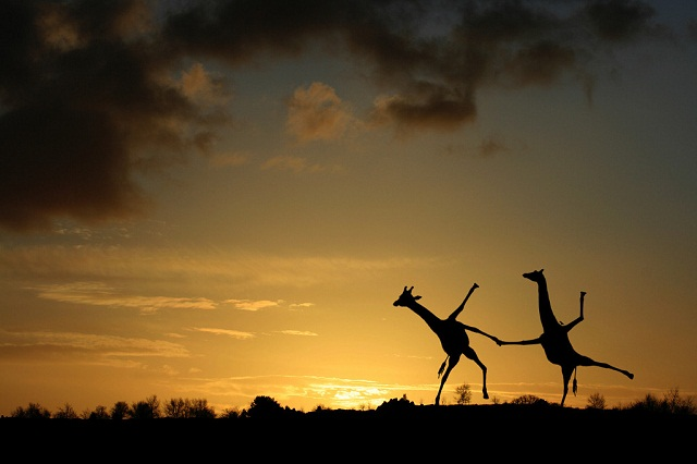 Two Giraffes Dancing 0562
