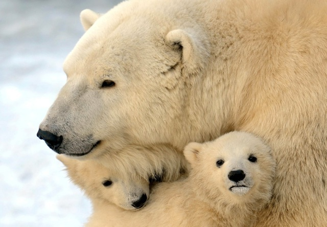 Mother polar bear cuddles with two of her cubs 242
