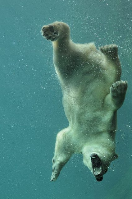 Underwater Polar Bear 132