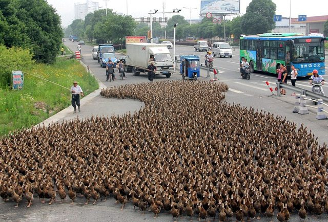 5,000 duckies out for a walk 106