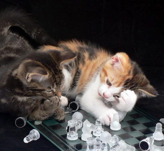 Chess Cats 376