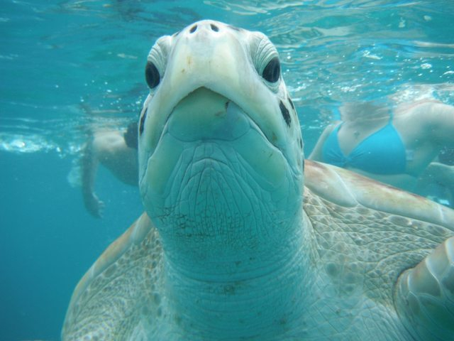 Inquisitive Sea Turtle 678