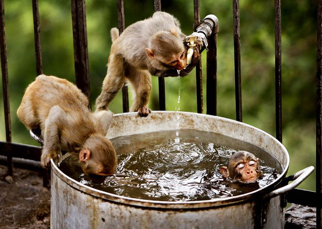 Monkey hot tub 333