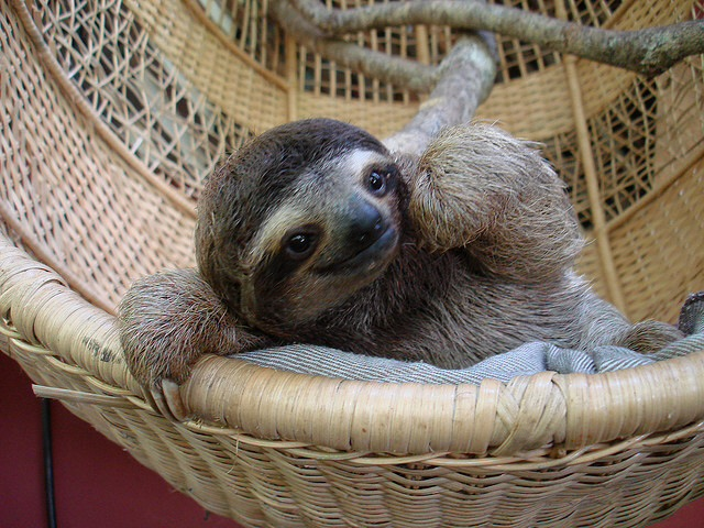 Baby sloth in a basket 1f2g5a