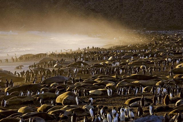 King Penguins and Elephant Seals f457h