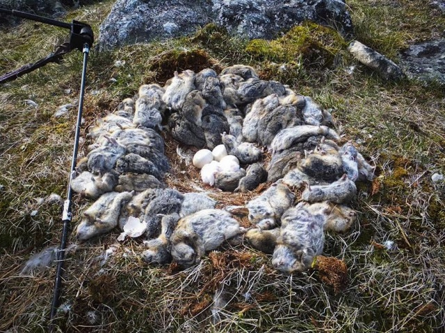 A snowy owl nest made from dead lemmings o90k
