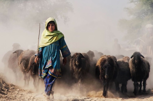Female shepherd leading her herd of sheep and goats m2k34j