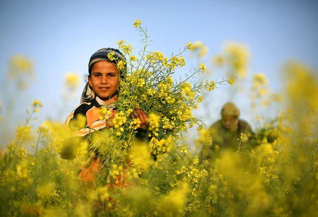 Palestinian girl helping her father pick wild mustard flowers 3f6j7k