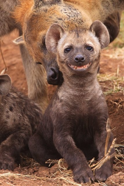 Ridiculously photogenic hyena 8w6fq