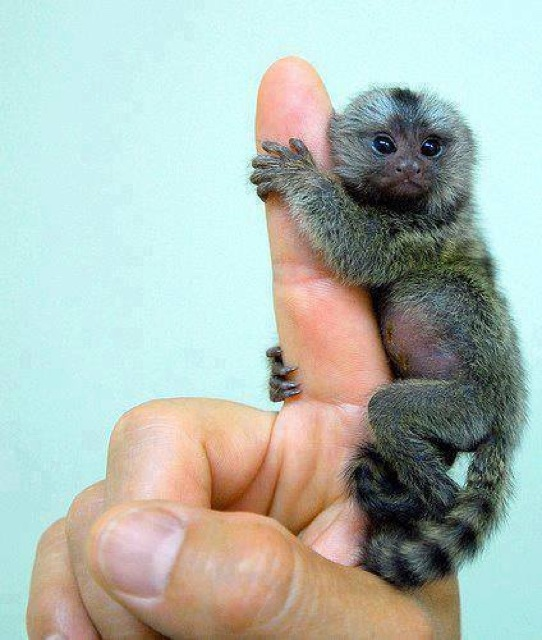 Smallest Monkeys in the world 42s3q2q