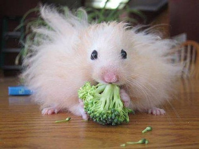 hamster eating broccoli 4gh5