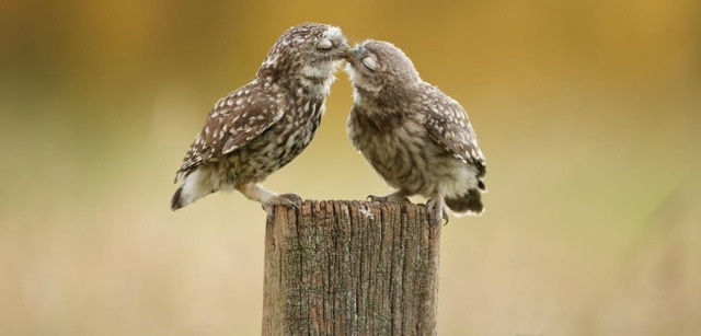 Kissing Owls 3g65fw